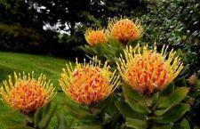 Leucospermum 'Veldfire' - Pincushion - 1 Feet Tall - Ship in 1 Gal Pot