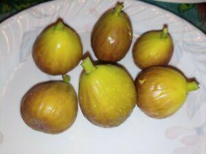 Greek White Fig Tree Cuttings