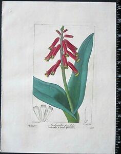 Bessa,P.Flore des Jardiniers,Lachenalia pendata,hand colored Engraving,c.1836