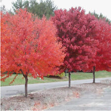 Brandywine Red Maple - 2 Gallon Potted