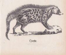 Civette Schleichkatzen Viverridae LITHOGRAPHIE von 1831 Brüggemann Schinz