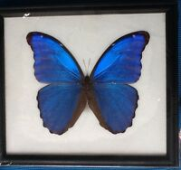BIG HUGH BLUE MORPHO DIDIUS  BUTTERFLY TAXIDERMY INSECT ENTOMOLOGY