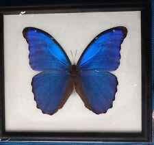BIG HUGH BLUE MORPHO DIDIUS  BUTTERFLY TAXIDERMY INSECT ENTOMOLOGY