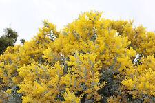 Queensland Silver Wattle (Acacia podalyriifolia) 30 Seeds