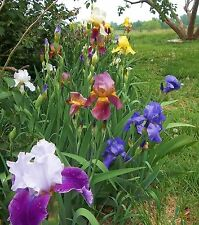 LOT 5 FRESH SPROUTED MIXED BEARDED IRIS RHIZOME BULBS