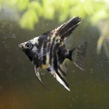 Black Marble with Koi Highlights Angelfish 4+
