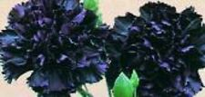 30+ KING OF BLACKS CARNATION FLOWER SEEDS / PERENNIAL