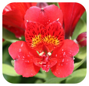 Alstroemeria Inca 'Vito' Jumbo Plug Plant Perennial Peruvian Lily