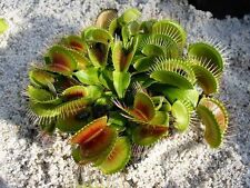 Carnivorous Plant Dionaea Muscipula, Venus Fly Trap, 5 Seeds
