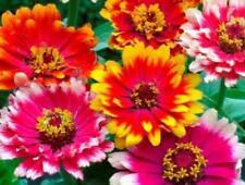 """Carrousel Zinnia """"Elegans"""" 50 Seeds"""