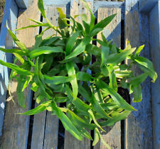 Murdannia loriformis Thailändisches Heilkraut Kräuter Pflanzen