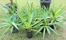 Baby Yucca Spanish Bayonet Aloifolia Succulent (x4) Tree Plant'