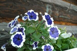 Flower Seeds Petunia Picota Blue F1  from Ukraine