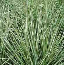 Calamagrostis acutiflora 'Overdam Siergras/Graminée 5 stuks/pcs