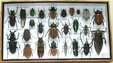 25 Real Insect Display Taxidermy Entomology Beetle Big Set in Box Collectible