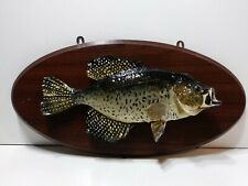 13 1/2 Inch Black Crappie Taxidermy Fish Mount cabin or office decor Vintage