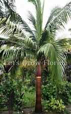 Satakentia liukiuensis Palm Tree Seedlings Rare Live Tropical !