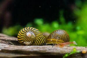 2 x Tiger Nerite snails, Fresh Water Snail