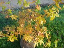 Acer palmatum Bi-hoo - Japanischer Fächerahorn Bi-hoo