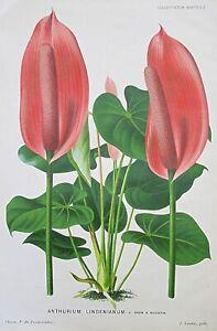 1882 ANTHURIUM LINDENIANUM Genuine Antique Botanical Print LINDEN