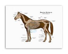 ANIMALS SKELETON BONES HORSE ANATOMY Poster Canvas art Prints