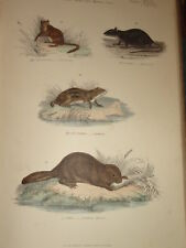 c1860 PRINT NATURAL HISTORY RODENTS BLACK RAT BEAVER
