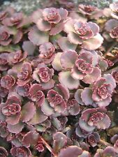 Sedum Dragons Blood in 65mm square pot  (succulents and cacti)