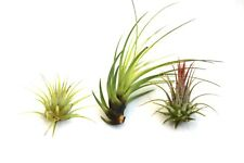 Air plants (tillandisa) 3x Air Plant Mix - Craftmoor Air Plants - Free P&P
