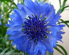 1000 Blue Cornflower Seeds Bachelor Button Centaurea Cyanus Flower Comb Sh