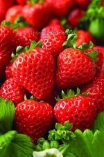 Erdbeere Fragaria Cupido® White Neuheit Winterhart Pflanzen Staude 40x