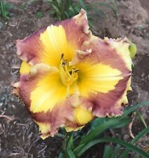 Daylily Plant NEW PARADIGM Stamile 2008 Yellow Burgandy Daylilies Flower DF