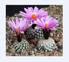 Turbinicarpus Valdeziana (10 SEED) Rare Cactus Samen Semi Korn 種子 씨앗 Семена