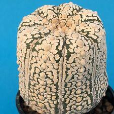 520. Astrophytum asterias 'Superkabuto' SELECTED on Myrtillo. 6.5 cm Ø /aztekium