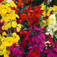 Fairy Flower Seeds Wallflower Fair Lady Mixed Approx. x500 seeds  Biennial