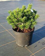 "Pinus uncinata ""Heideperle"" 20 cm - Zwerg-Kugel-Kiefer"