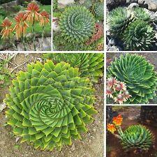 5 Seeds Spiral Aloe Polyphylla Exotic Home Garden Rare Plant Fresh Patio  Decor