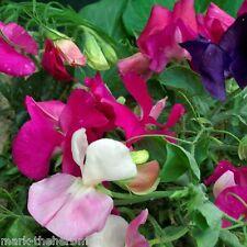 """Sweet Pea """"Lathyrus Odoratus"""" Little Sweetheart  Mix 30 seeds, Cottage Garden,"""
