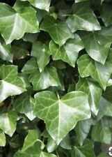 "LIVE PLANTS English Ivy 🌿6""+ Rooted Cutting(Hedera Helix)Hardy Ground cover"