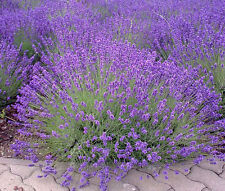 LAVENDER ENGLISH Lavandula Angustifolia - 1,500 Bulk Seeds