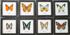 COLLECTION REAL 8 BUTTERFLY DISPLAY INSECT TAXIDERMY