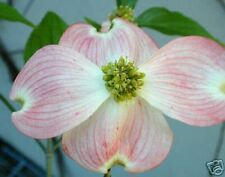 Cornus florida Pink Flowering Dogwood Seeds!