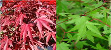 20 x Mixed Maple seeds. 10 x Japanese Maple & 10 x Redleaf Maple seeds.