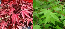 40 x Mixed Maple seeds. 20 x Japanese Maple & 20 x Redleaf Maple seeds.