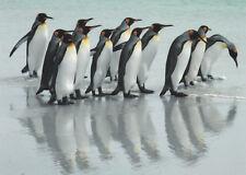 Postkarte: Königspinguine at Volunteer Point, Falkland Islands, Antarktis