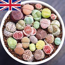 300pcs/bag mix lithops and rare succulent seeds Ass flower Living Stone bonsai