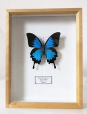 REAL METALLIC BLUE AUSTRALIAN BUTTERFLY PAPILIO ULYSSES FRAMED BEAUTIFUL