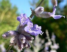 SEEDS 12 graines de LAVANDE D'AFGHANISTAN (Perovskia Atriplicifolia) SAMEN