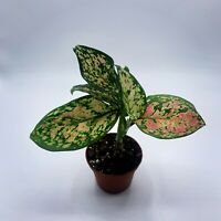 Aglaonema 'Wishes' Chinese Evergreen / 3 inch Pot / 1 plant