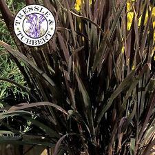 Rare Oryza sativa (Ornamental Rice) Black Madras, Grass, 15 seeds - UK SELLER