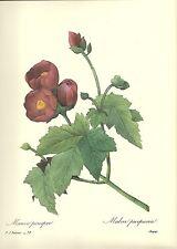 "P. J. REDOUTE' - BOTANICAL- FLOWERS - ""MALLOW"" -  VINTAGE PRINT #78"